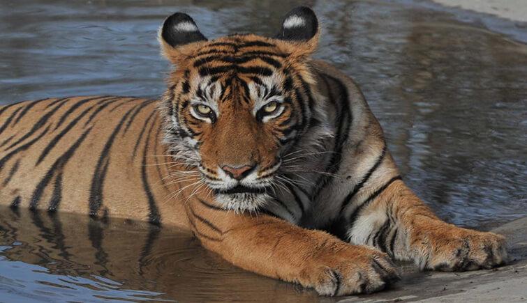 Tigress T60