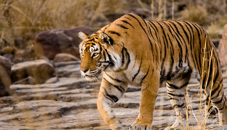 Machali- the tigress