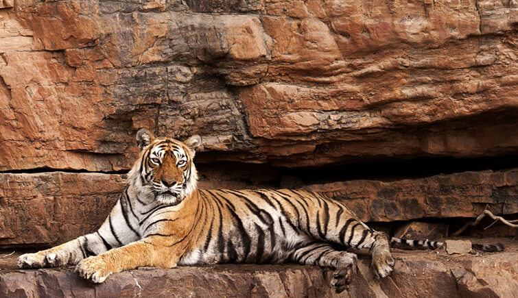 slattery Machli tigress ranthambore