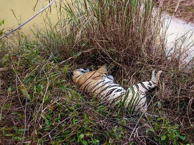 tigress dead tadoba