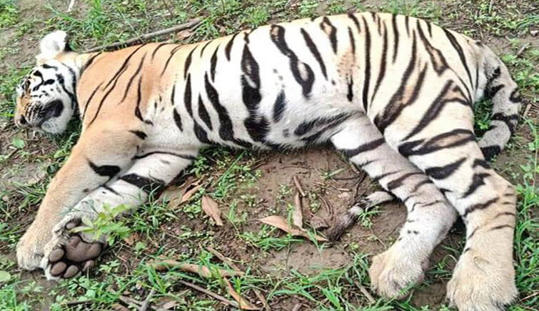 tigress poisoned tadoba