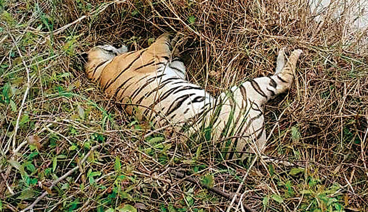 villager poison tigress tadoba