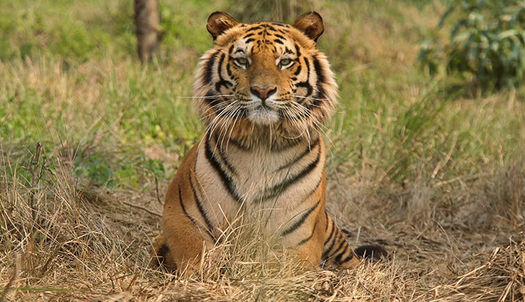 Ranthambore Tiger T-104