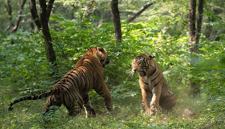 Tigers T57 and T58 Fight
