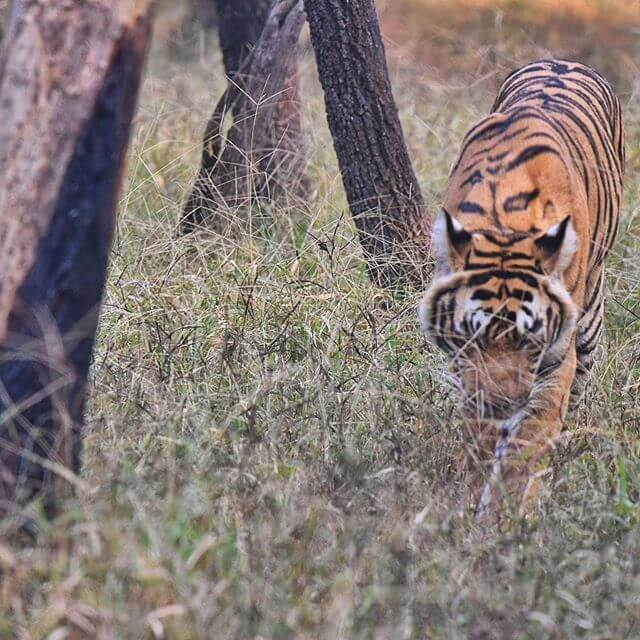 Tigers seeing ranthambore
