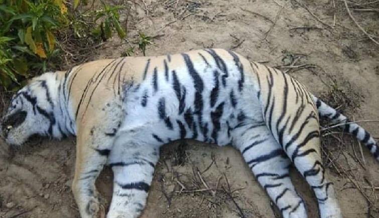 Tiger-T25-Dollar