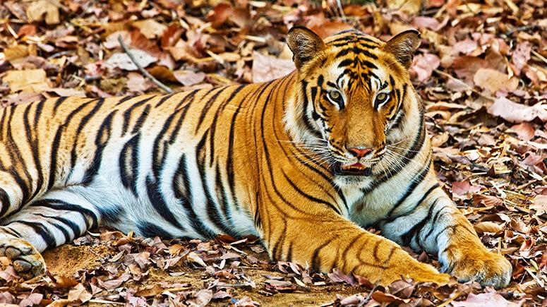 Bandhavgarh_Pic_Shutter_Stock