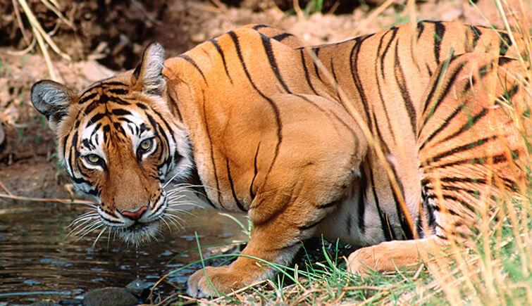 tiger-drinking-water-panna-park