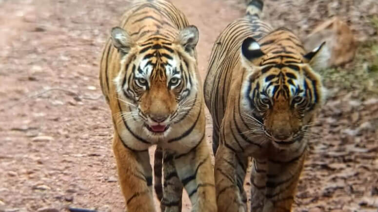 Ranthambore National Park Tigers