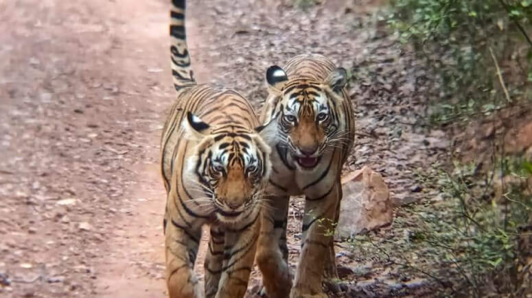Ranthambore Tigers