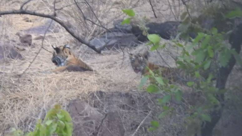2 Tiger Cubs Spotted in Mukundra Hills Tiger Reserve
