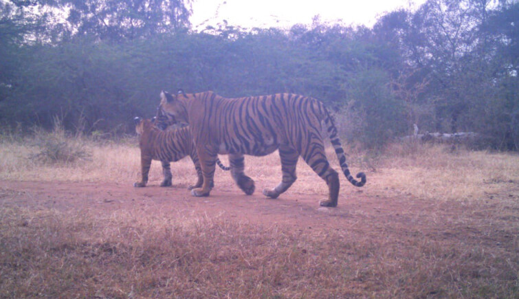 Tigress-107 Gives Birth to 2 Cubs