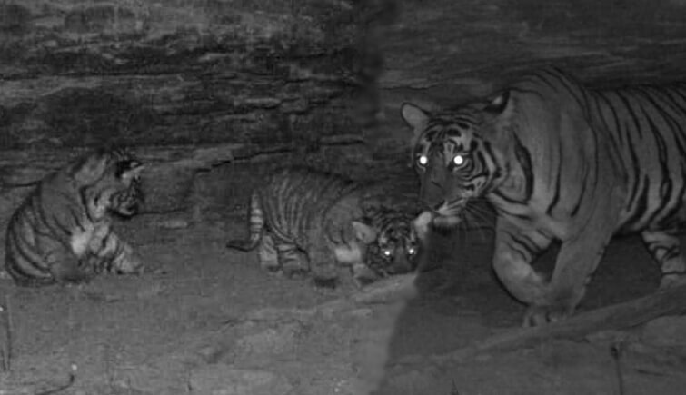 Tigress T-118, the Daughter of T-92, Gives Birth to Two Cubs