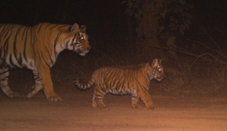 Ranthambore Tigress T 60 Spotted with Cub