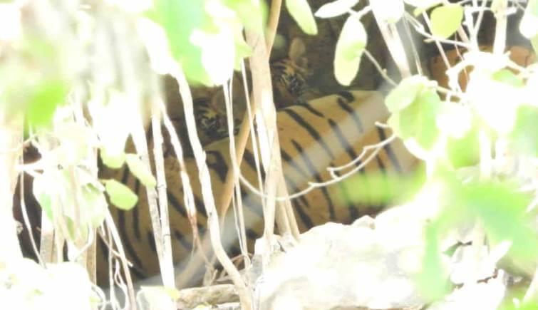 Tigress Arrowhead aka T84 Spotted with 2 Cubs at Ranthambhore