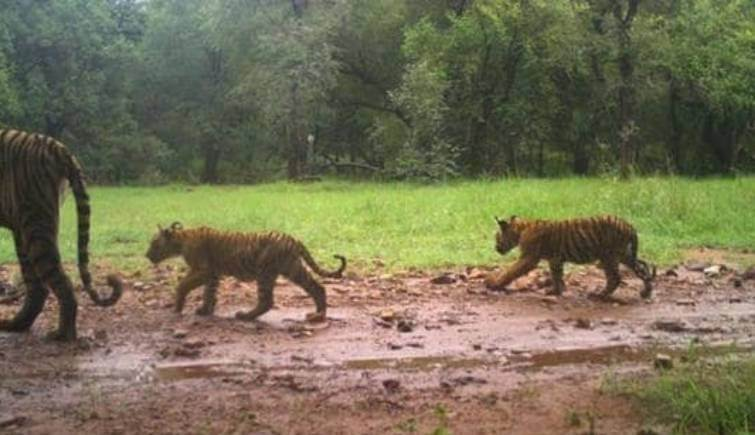 Tigress T-105 was spotted with her three new born cubs in Ranthambore
