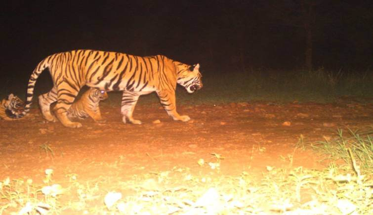 Tigress T-105 was spotted with her three new born cubs